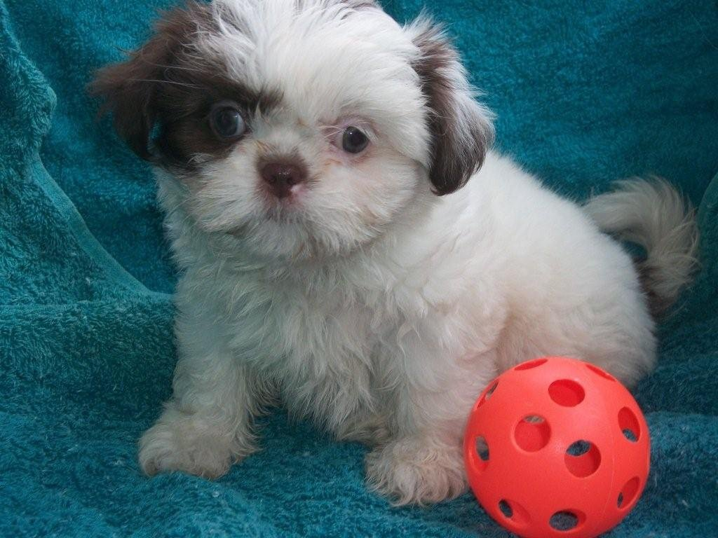 daisy patch shih tzu puppies of past litters tanari shih tzu s 5795